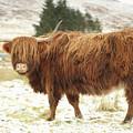 Scottish Red Highland Cow In Winter by Maria Gaellman