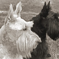 Scottish Terrier Dogs In Sepia by Jennie Marie Schell