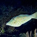 Scrawled Filefish by Jean Noren
