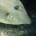 Scrawled Filefish Profile, Alutera by James Forte