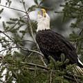 Screamin Eagle by Randy Hall