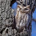 Screech Owl #1 by Paul Schultz