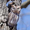 Screech Owl #2 by Paul Schultz