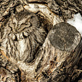 Screech Owl In Cavity Nest by Dawn Key