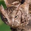 Screech Owl In Flight by Lowell Monke