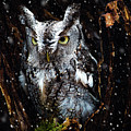 Screech Owl In The Snow by Tracy Munson