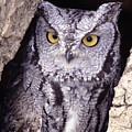 Screech Owl by John Hyde - Printscapes