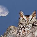 Screech Owl by Mircea Costina Photography