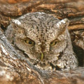 Screech Owl On Spring Creek by Cindy Schneider