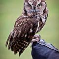 Screech Owl Perched by Athena Mckinzie