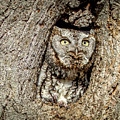 Screech Owl by Richard Chasin