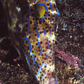 Scribbled Leatherjacket, Aluterus by James Forte