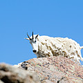 Scruffy Mountain Goat On The Mount Massive Summit by Steve Krull