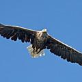 Sea Eagle by Aivar Mikko