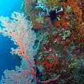 Sea Fan by Todd Hummel
