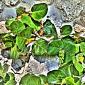 Sea Grapes  by Rosemary Jardine