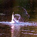 Sea Gull Abstract by Karen Silvestri