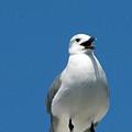 Sea Gull by Dottie Dees