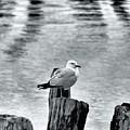 Sea Gull Black And White by Elizabeth Dow