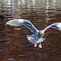 Sea Gull Landing by Randall Ingalls