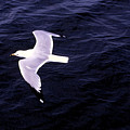 Sea Gull Over Water Dbwc by Lyle Crump