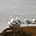 Sea Gulls On Rock Ledge by Sheila Brown