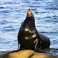 Sea Lion Sing by Anthony Jones