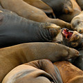 Sea Lions At Pier 39 San Francisco by Sebastian Musial