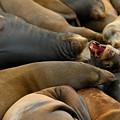 Sea Lions At Pier 39 San Francisco by Sebastian Musial