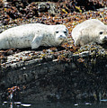 Sea Lions At Sea Lion Cove State Marine Conservation Area by David Oppenheimer
