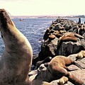 Sea Lions On Rock Pier by Joe Lach