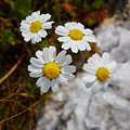 Sea Mayweed by Jouko Lehto