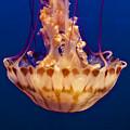 Sea Nettle Jellyfish by Venetia Featherstone-Witty