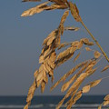 Sea Oats At Hunting Island State Park by Anna Lisa Yoder