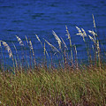 Sea Oats by David Campbell