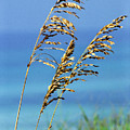Sea Oats Gulf Of Mexico by Thomas R Fletcher