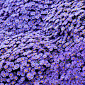 Sea Of Lavender Flowers by Todd Klassy