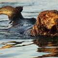 Sea Otter A Bit Embarrassed by Max Allen