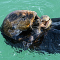 Sea Otter Munching On A Clam by Susan Wiedmann