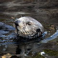 Sea Otter by Randall Ingalls