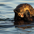 Sea Otter With A Toothache by Max Allen
