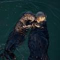 Sea Otters II Color by David Gordon