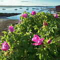 Sea Roses, Orrs Island, Harpswell, Maine #130261 by John Bald
