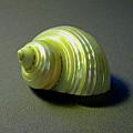 Sea Shell Turbo Marmoratus by Frank Wilson