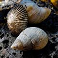 Sea Shells by Pamela Walton