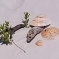 Sea Shells With Drift Wood And Small Plants by Holly Eads