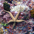 Sea Star by Todd Hummel