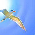 Sea Tern If I Were A Bird by W Gilroy