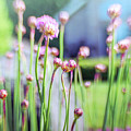 Sea Thrift by Jean OKeeffe Macro Abundance Art