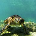 Sea Turtle #3 by Anthony Jones
